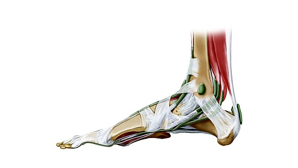 Tendons et ligaments